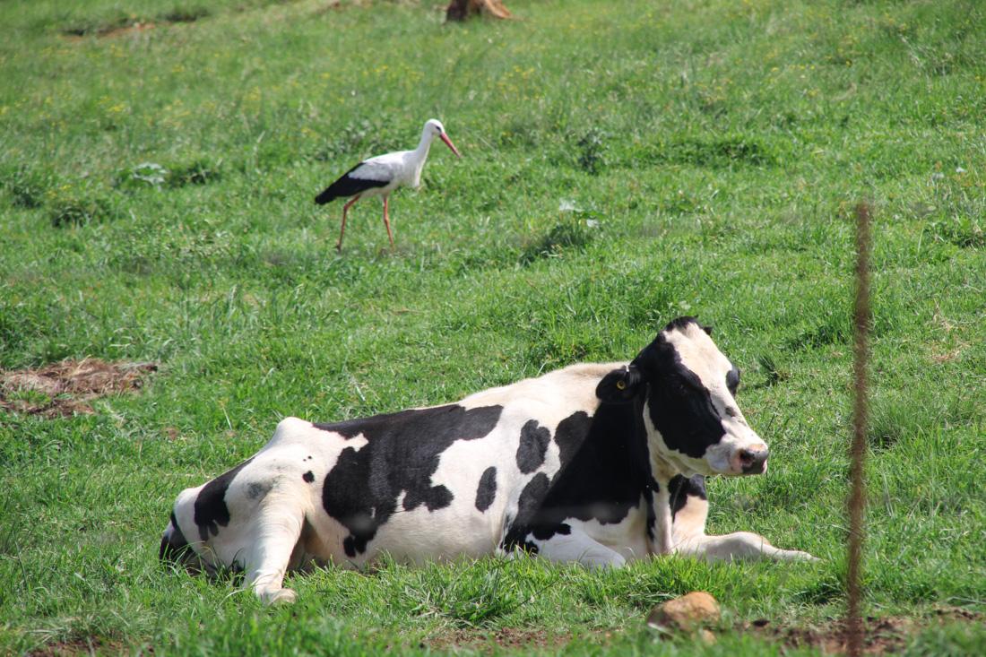 drakensberge-kuh-storch