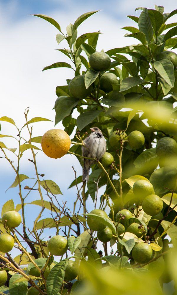 malaga-vogel-orangenbaum